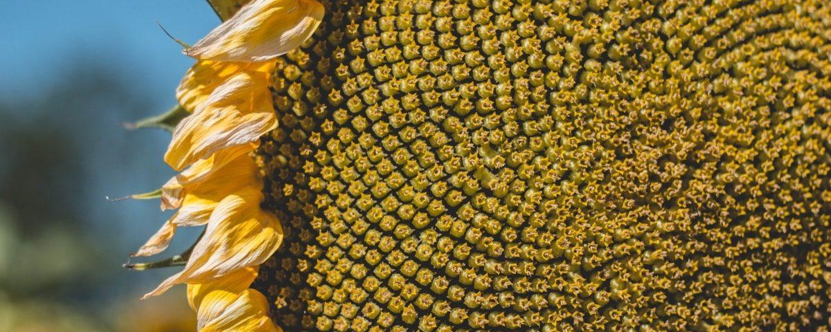 Beneficios de las pipas de girasol